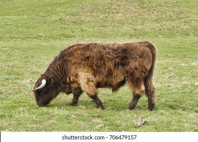 Highland cattle on the meadow at Gulstav Mose, Langeland, Denmark