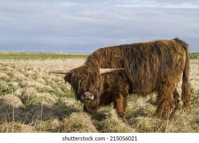 Highland Cattle on the meadow in  Lofoten islands