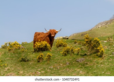 Highland cattle on a mountain slope.