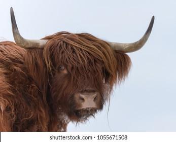 Highland cattle portrait