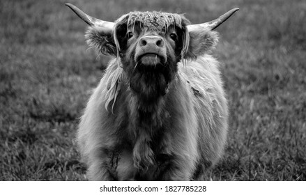 Highland cattle are a Scottish breed of cattle with long horns and long wavy coats which are colored black, brindled, red, yellow or dun.