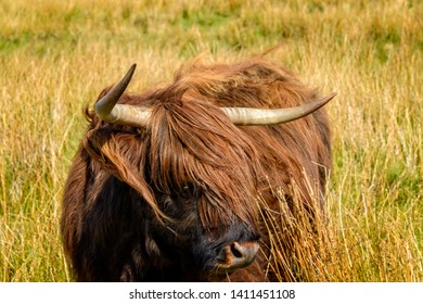 Highland cattle are a Scottish cattle breed. They have long horns and long, wavy, woolly coats and are often referred to as hairy coos.