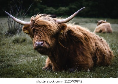 Highland Cattle in South East England
