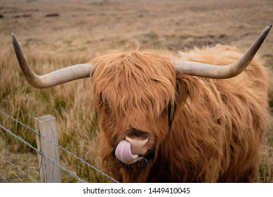 The highland cattle, special cow/ox of scotland can see at skye island