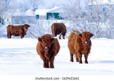 Highland cattle standing in a snowy field in winter in Canada