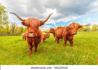Highland cattle in the Swedish province of Smaland in summer