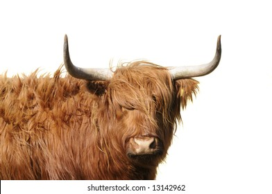 Highland cattle with wind blowing its long hair isolated