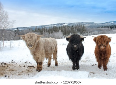 Highland Cattle in winter
