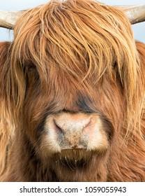 Highland Cattle/Cow, Isle of Skye in Scotland