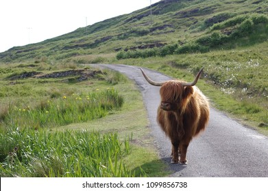 Highland cattles at the isle of Mull, scottish west coast. The long coat of the cattle is very warm. The cattle stays in the middle if the single track road, bloacking the way with its large horns.
