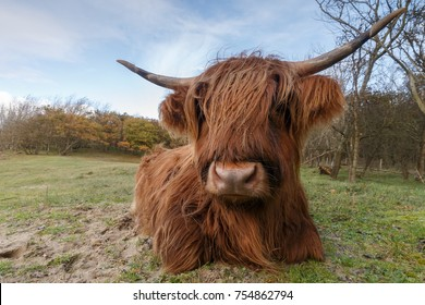 Highland cow in a autumn setting
