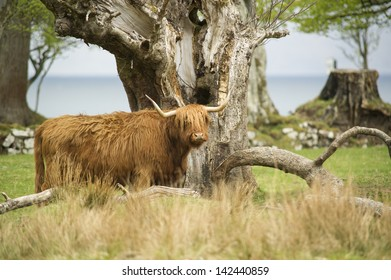 Highland cow by tree with the Applecross bay in the background.