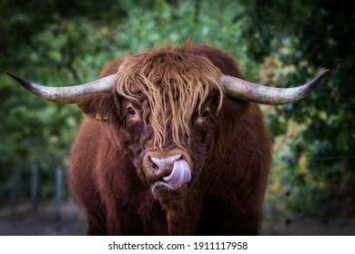 Highland cow calf black and white cattle