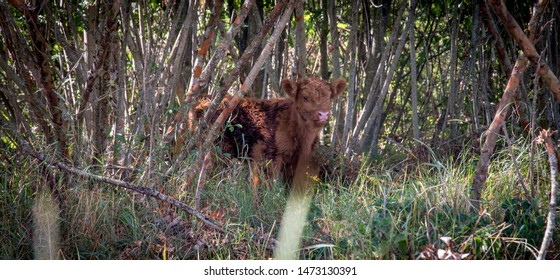 Highland cow calf peeking out of forest