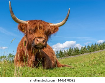 Highland Cow chewing cud in a field