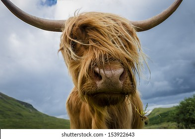 Highland Cow up close