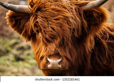 Highland cow close up farming Scotland horns wild hairy wet nose looking directly at camera portrait wildlife organic farming farming at its best