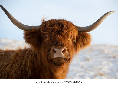 Highland cow, close up head and shoulders image