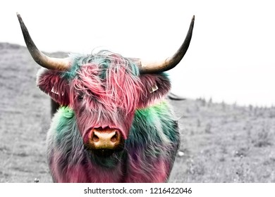 highland cow colorful dyed hair