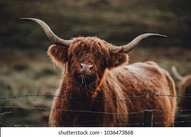 Highland cow in a field looking funny at camera