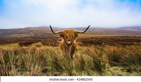 Highland cow in field with the mountains in the distance, Scotland