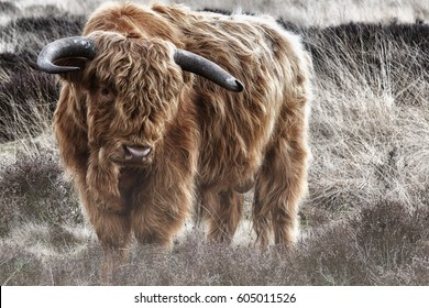 Highland cow in foggy winter landscape