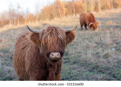 Highland cow and friend