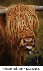 Highland Cow with fringe and tongue sticking out