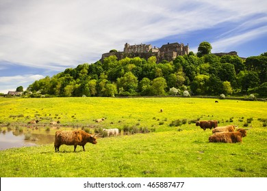 Highland cow in front of Stirling Castle. Typical scottish highland Cow. Stirling, Scotland, UK