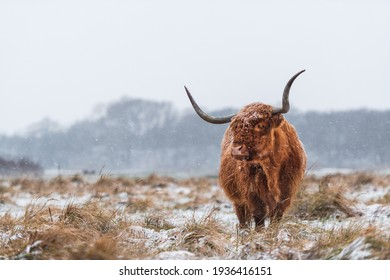 Highland cow in a grassland during snowy weather, looking towards the camera.