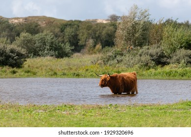 Highland cow in a grassland, standing in a pool of water.