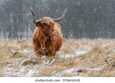 Highland cow grazing during snowy weather.  The snowflakes are clearly visible against the dark background.
