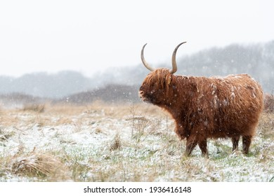 Highland cow grazing in a grassland during snowfall