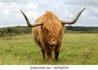 Highland cow grazing in the grassland of Lentevreugd in The Netherlands. The cow is looking towards the viewer.