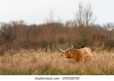 Highland cow grazing in a natural habitat of Lentevreugd in The Netherlands during winter season.