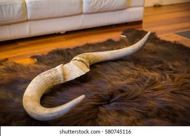Highland cow horns