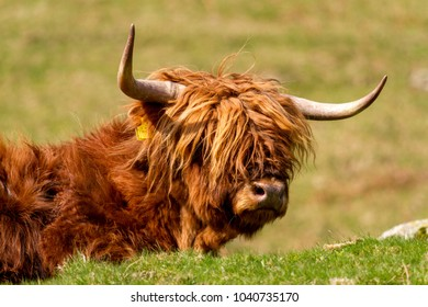 Highland cow laid down