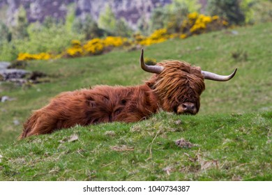 Highland Cow laid down in a field