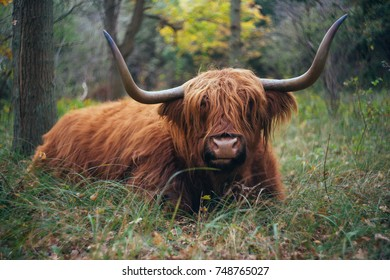 A highland cow lies on the forest floor. Surrounded with autumn colors.
