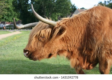 Long Haired Cow Images, Stock Photos & Vectors | Shutterstock