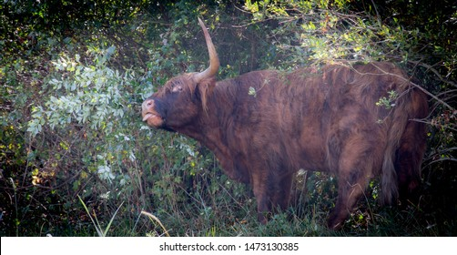 Highland cow looking weird and showing tounge