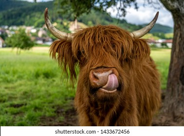 highland cow on meadow in kinzig valley, black forest, germany