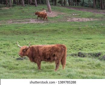 Highland cow on polish meadow. Highland cattle (Scottish Gaelic: Bò Ghàidhealach; Scots: Heilan coo) are a Scottishcattle breed. Poland