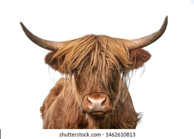 Highland cow on white background headshot