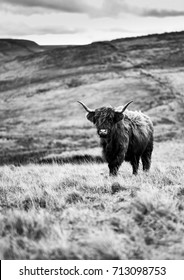 Highland Cow, Peak District, 2017, Black and White