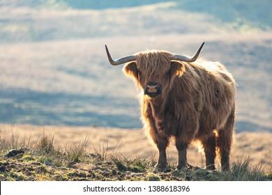 Highland cow in Skye, Scotland.