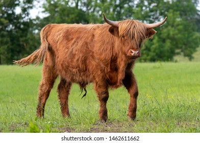 Highland cow standing in green field walking