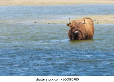 Highland Cow Standing in a Lake