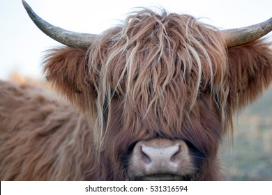 Highland Cow Staring