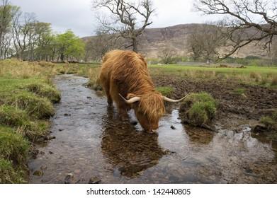 Highland Cow in stream in Scotland drinking.